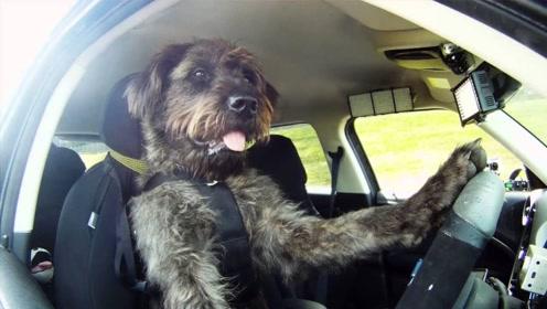 小狗竟会开车上路,驾驶技术也非常熟练,真的是天才一样的小狗!