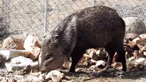 凶猛野猪战力堪比猛兽,盗猎者看到它们都要吓到变色