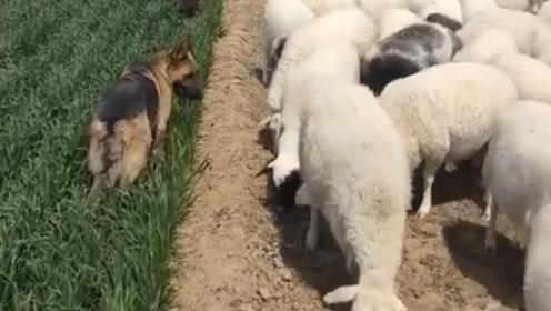 狗狗上演严格式放羊 多吃一口都不行