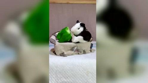 小仓鼠的日子还是过得好,没睡醒就开吃了