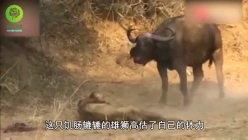 狮子被牛屁股活活夹死,真是太憋屈了,母狮一脸无奈