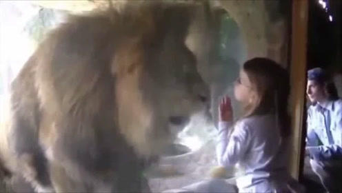 小女孩隔着玻璃亲吻狮子,下一秒画面让人惊恐