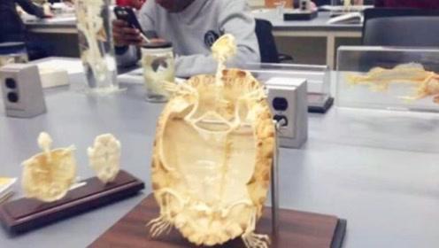 把乌龟的壳取掉它还能存活下去吗?专家对其解刨,答案不敢相信!