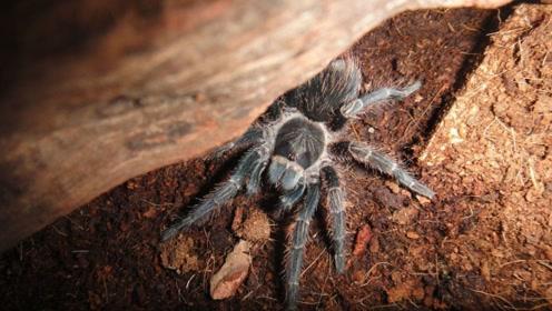 世界最大蜘蛛藏匿雨林,靠刚毛探测猎食一击命中