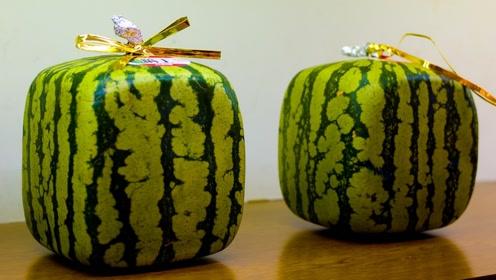 日本种植的西瓜卖到了800块,那它的味道究竟好不好吃呢?