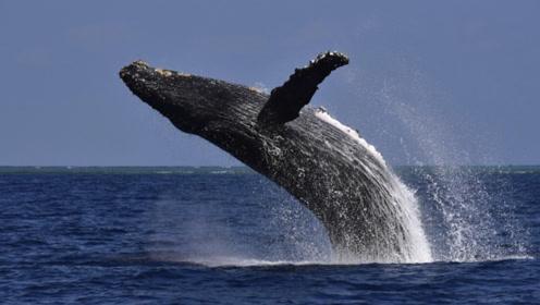 为什么说地球上的鲸鱼,被一口油井拯救了?看完恍然大悟