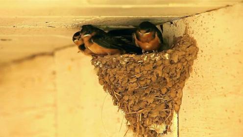 有人说燕子总共有10种建造鸟窝的方法,那究竟是哪几种呢?