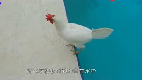 这只鸡第一次在雪地上走,它的表情亮了,镜头拍下全过程