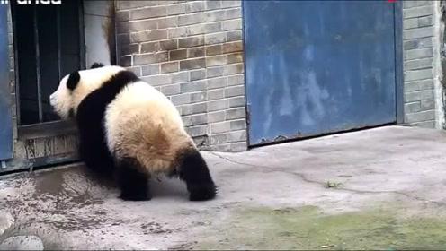 揭秘!大熊猫独特的淋浴方式