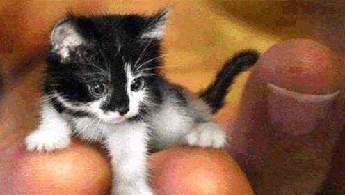 世界上最小的4只猫咪,体型只有巴掌大小,网友:萌化了