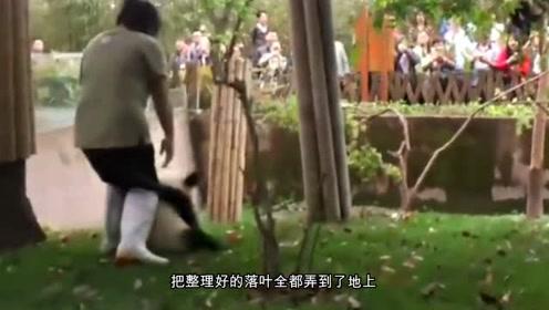为什么饲养员一般都很讨厌大熊猫?看看这些饲养员的下场就知道了