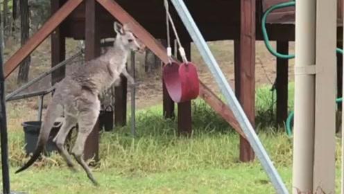 萌趣!澳大利亚一小袋鼠迷上了玩秋千,竟疯狂地跳来跳去