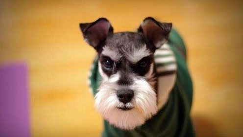 12种适合居家的狗狗排行 哈士奇应该不在吧