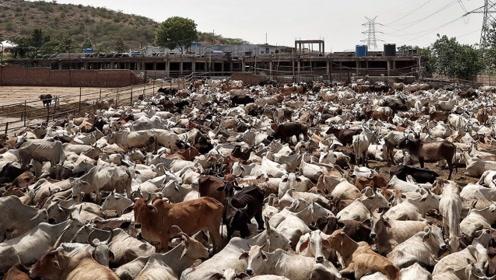 """印度""""神兽""""泛滥成灾,现已超过3亿头,为什么没人敢吃?"""