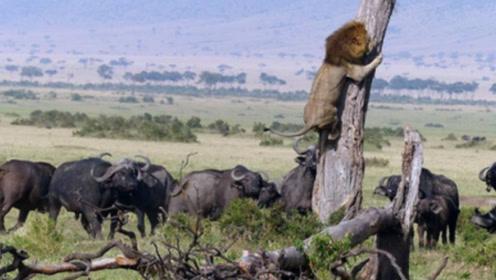 80只野牛群殴狮子,狮子全被打趴了,视频拍下了这一幕!