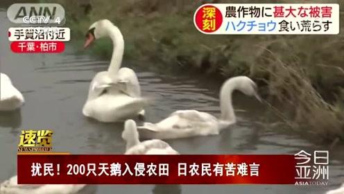 扰民!200只天鹅入侵农田 日农民有苦难言