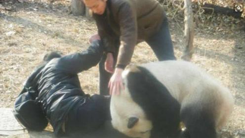 若大熊猫伤人, 有权直接将其击毙吗? 饲养员:国宝不是白叫的
