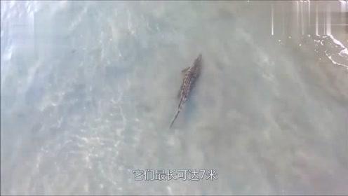 鲨鳄鱼vs鲨鱼对上了,两个都是水中霸主,到底谁会更胜一筹?