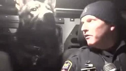 警犬被主人吵醒后瞬间进入状态 忍着疲倦开始警惕四周