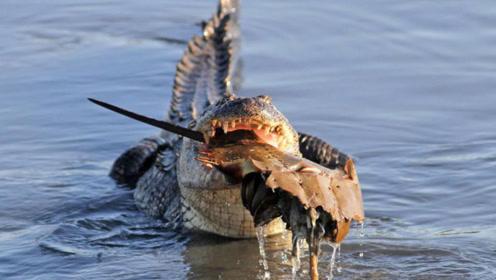 秃鹫vs鳄鱼,吃饭也要提心吊胆!到底谁才是盘中餐?