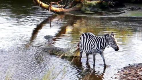 """鳄鱼悄悄潜伏,偷袭在河边喝水的斑马,不料被斑马一招""""反杀""""!"""