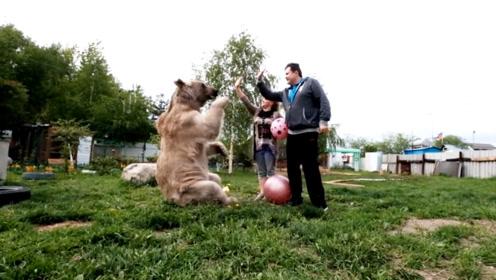 男女主人同时伸出手想与棕熊击掌,熊的机智反应,被夸高情商!