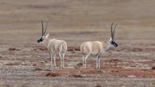 世界上交配时间最长的动物,整个时长需要21天,我国特有物种!