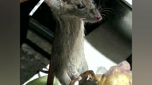 老鼠被夹要害,表情痛苦加难受,网友:大人哪能干这事?