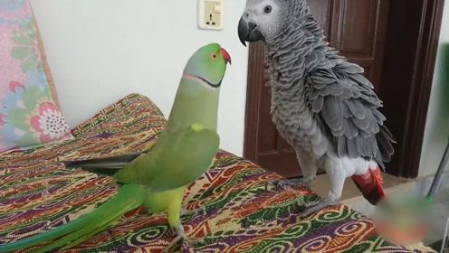 鹦鹉给同伴跳舞,同伴不理睬,下一秒它惨了