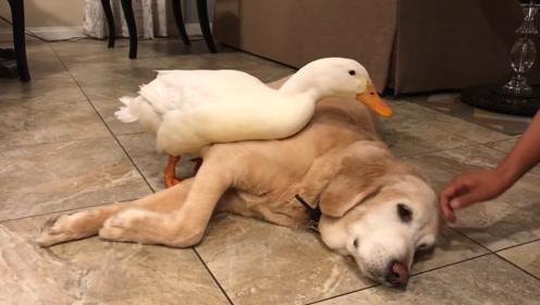 狗狗和鸭子从小一起长大,睡觉都黏在一起,还不让主人碰狗狗!