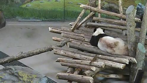 国宝都敢戏弄!松鼠飞过来一脚揣在熊猫屁股上,踹完赶紧溜!