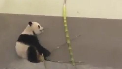 熊猫吃竹子太忘我,突然倒下一根竹子砸懵熊猫,这反应太Q弹了!