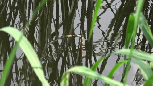 钓鱼:大鲫鱼直冒沫子,可惜天太热不咬钩,只能钓点小的了!