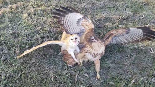 猫头鹰被老鹰扑倒在地,可怜巴巴的向男子求救,镜头记录全过程