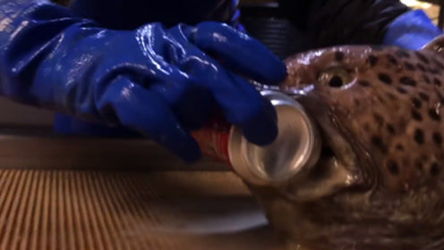这鱼只剩下一个头也能咬碎罐装可乐!人被咬一口手不得废了?