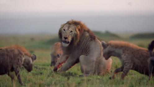 狮子喝完水准备离开,却被鬣狗围堵了,狮子:我招谁惹谁了?
