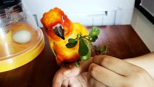 鹦鹉真的是什么都吃啊,马齿笕也喜欢吃,而且是吃完就想睡