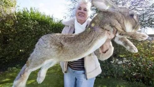 全世界最大的兔子,一年伙食费高达5万元,几乎吃光家里