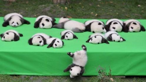 大熊猫死后,尸体都是怎么处理的?说出来你都不信