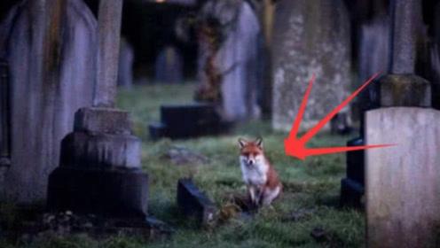 为什么狐狸都喜欢住在坟墓里?答案和你想的一样!