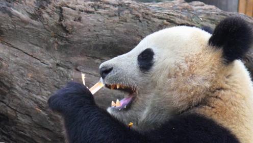 老虎狮子为何不攻击大熊猫?熊猫另一个名字,恐怕你还没听过