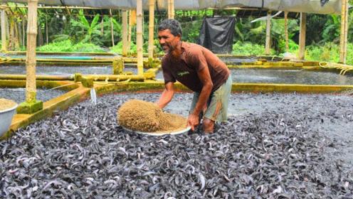 印度养鱼也开挂?10平米小池养10万条鱼,开饭后直接失控!