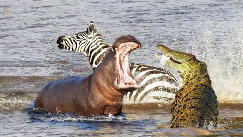 斑马过河遭鳄鱼攻击,好心河马出手相救:是马的都归我管!