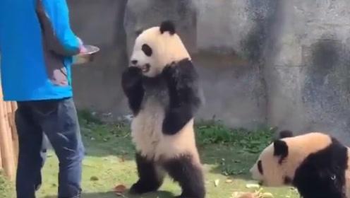 饲养员埋怨大熊猫欺负同伴,熊猫站立双手一叉腰:请注意你的态度