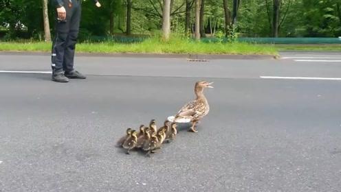 鸭妈妈带小鸭子排队过马路,路人保驾护航,太有爱了!