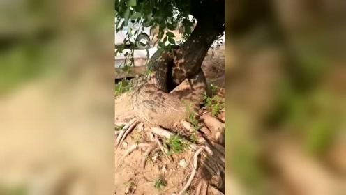 谁能告诉我。这棵树以前到底经历了什么?