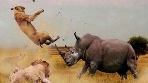 惨烈!狮子惹怒野牛群,下秒被野牛群活活顶死,镜头记录全程