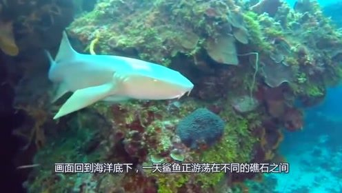 鲨鱼不小心落入海鳗陷阱,刚准备美餐,下一秒尴尬了