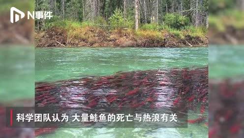 美国阿拉斯加高温致大量鲑鱼死亡:高达32℃,创50年最高记录