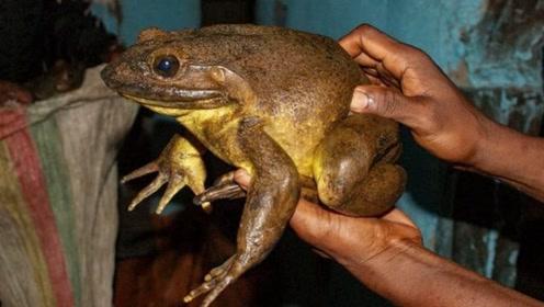 """世界上最大的青蛙,因会建造""""幼儿园"""",被称为""""野生建筑师""""!"""